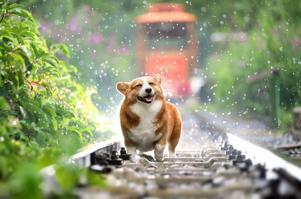dog, corgi, pets-4415649.jpg