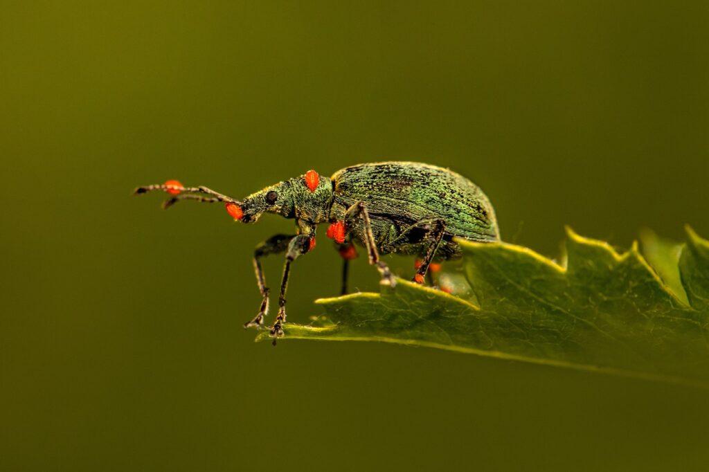 weevil, beetle, leaf-6319220.jpg